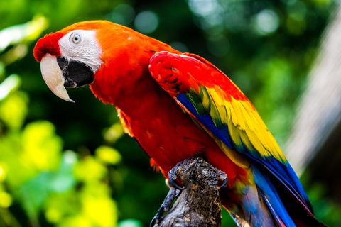 Id Rings For Parrots